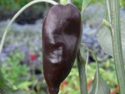 C BIO-Pflanze Chili leicht scharf Mulatto