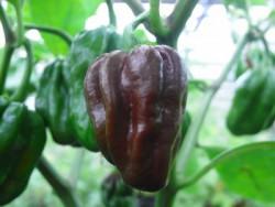 C Habanero Schoko Chili sehr scharf BIO-Pflanze