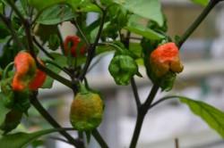 BIO-Pflanze Chili sehr scharf Carolina Reaper