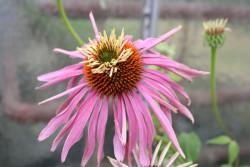 FL1 Roter Sonnenhut 'Doppeldecker' BIO Heilkräuter-Pflanze
