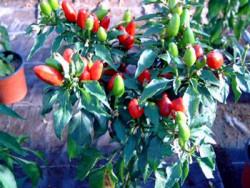BIO-Pflanze Sibirischer Hauspaprika Chili  scharf