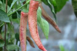 BIO-Samen Chili mittelscharf Elephant