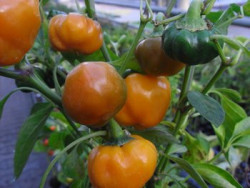 BIO-Chilipflanze Scottsh Bonnett gelb  sehr scharf