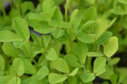 H1 Bockshornklee BIO Heil-Kräuterpflanze