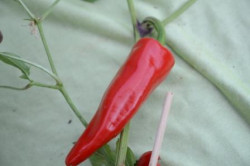 C BIO-Pflanze Chili mittelscharf Taeyang Medium