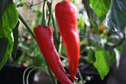 C BIO-Pflanze Paprika süß Korosko