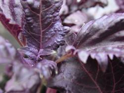 BIO-Basilikumpflanze Rotes Krauses
