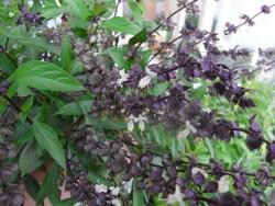 H3 BIO-Basilikum-Pflanze Thai-Basilikum