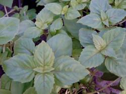 BIO-Basilikum-Pflanze Zimt-Basilikum