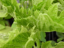 BIO-Basilikumpflanze Grünes Krauses