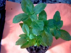 BIO-Pflanze Basilikum Strauch- Grüner Afrikaner (African Green)