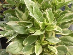 BIO-Basilikumpflanze  Rainers Weißes