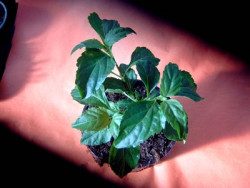 BIO-Basilikumpflanze Paprikabasilikum