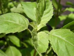 BIO-Basilikumpflanze Tulsi Tulasi Heiligenbasilikum