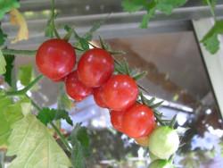 BIO-Pflanze Balkon-Tomate Ampeltomate Pendulina