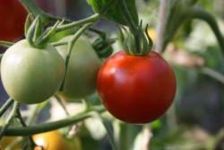 BIO-Pflanze Busch-Tomate Glacier Alte Tomatensorte