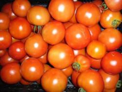 BIO-Pflanze Busch-Tomate Sub Arctic Plenty Alte Tomatensorte