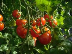 BIO-Pflanze Cocktail-Tomate Ernteglück