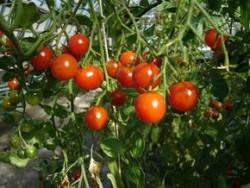 BIO-Pflanze Tomate Kirsch- Mexikanische Honigtomate Alte Sorte