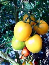 BIO-Pflanze Eier-Tomate DeBerao gelb Alte Tomatensorte
