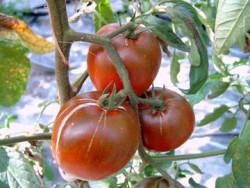 BIO-Pflanze Eier-Tomate DeBerao schwarz Alte Tomatensorte