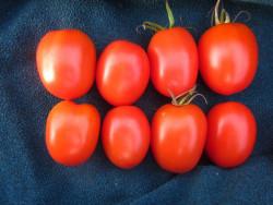 6er-Pack Tomate DeBerao rot BIO Tomatensämlinge