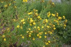 BIO Heilkräuter-Pflanze Johanniskraut