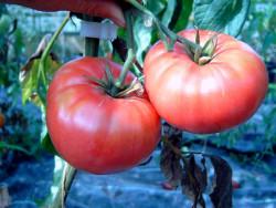 BIO-Pflanze Fleisch-Tomate Brandywine  Alte Tomatesorte