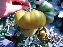 BIO-Pflanze Tomate Fleisch- Grüne Helarios BIO Alte Tomatensorte