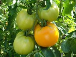 BIO-Pflanze Fleisch-Tomate Dills Gelbe Helene Alte Tomatensorte