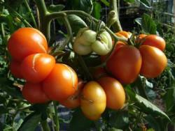 BIO-Pflanze Fleisch-Tomate Reisetomate Alte Tomatensorte