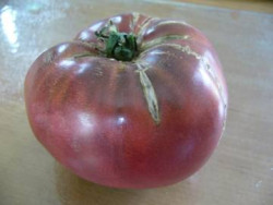 BIO-Pflanze Fleisch-Tomate Schwarzer Prinz Alte Tomatensorte