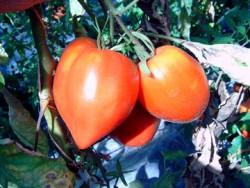 BIO-Pflanze Ochsenherz-Tomate Herzförmige