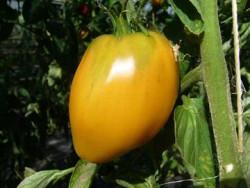 BIO-Pflanze Ochsenherz-Tomate Oranges Ochsenherz Alte Tomatensorte