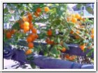 BIO-Pflanze Wild-Tomate JoHa Orange