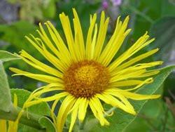 BIO-Kräuter-Pflanze Echter Alant