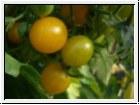 6er-Pack Tomate Gelbe Kirsche BIO-Tomatensämlinge