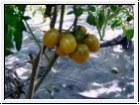 BIO-Pflanze Cocktail-Tomate Green Grape Alte Tomatensorte