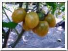 6er-Pack Tomate Green Grape oder Raisin verte BIO-Tomatensämlinge