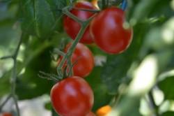 BIO-Pflanze Kirsch-Tomate Resi Gold Alte Tomatensorte
