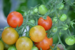 BIO-Pflanze Kirsch-Tomaten Primavera