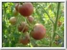 BIO-Pflanze Kirsch-Tomaten Schwarze Kirsche Alte Tomatesorte