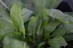 FL1 Pfefferkresse BIO-Kräuterpflanze