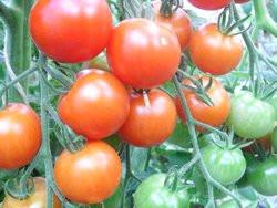 BIO-Pflanze Fleisch-Tomate Mini Red Star Alte Tomatensorte