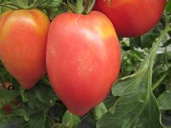 BIO-Pflanze Tomate Flaschen- Himbeerrot BIO Alte Tomatensorte