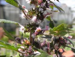 FL1 Herzgespann BIO Heilkräuter-Pflanze