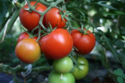BIO-Pflanze Tomaten rund TICA