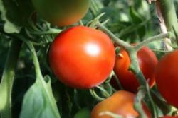 BIO-Pflanze Tomate rund PILU