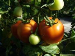 BIO-Pflanze Tomate rund 'Jasnaja' Alte Tomatensorte