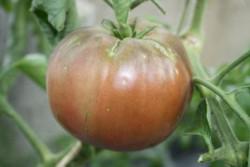 BIO-Pflanze Fleisch-Tomate Schwarze Krim Alte Tomatensorte